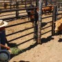 cattle-roundup-04