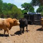 cattle-roundup-05