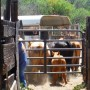 cattle-roundup-07