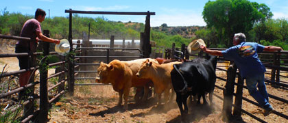 The Cattle Roundup